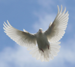 Cropped photo of dove - Copyright Axez